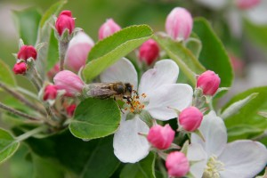 Apple Blossom Wallpapers by free wallpapers (18)