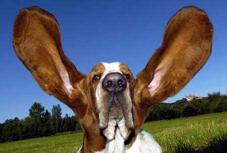dog all ears